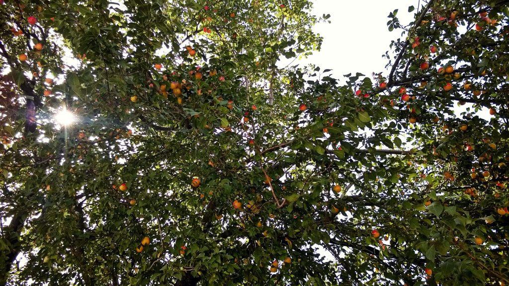 erik-ağacı-2